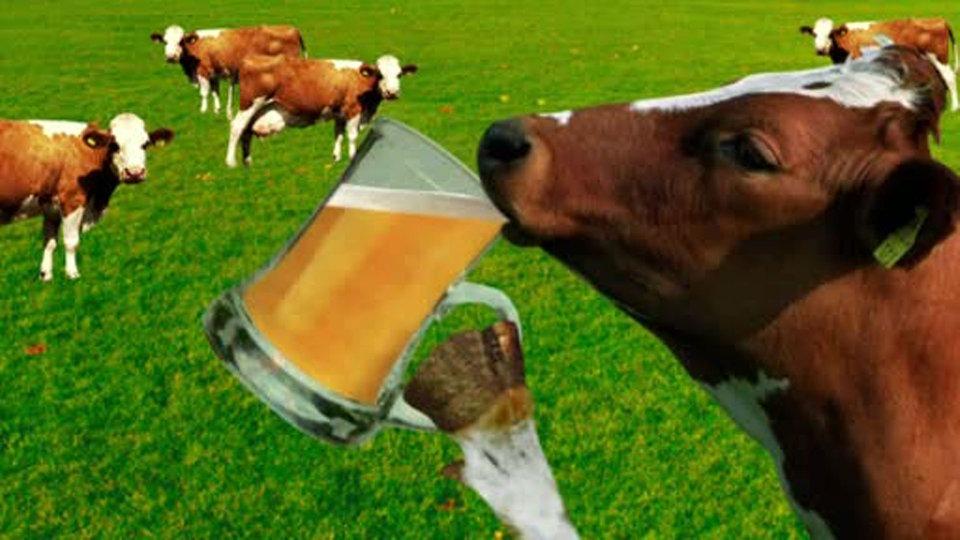Die Kuh – das unbekannte Wesen - Sendungen - Quarks - Fernsehen - WDR