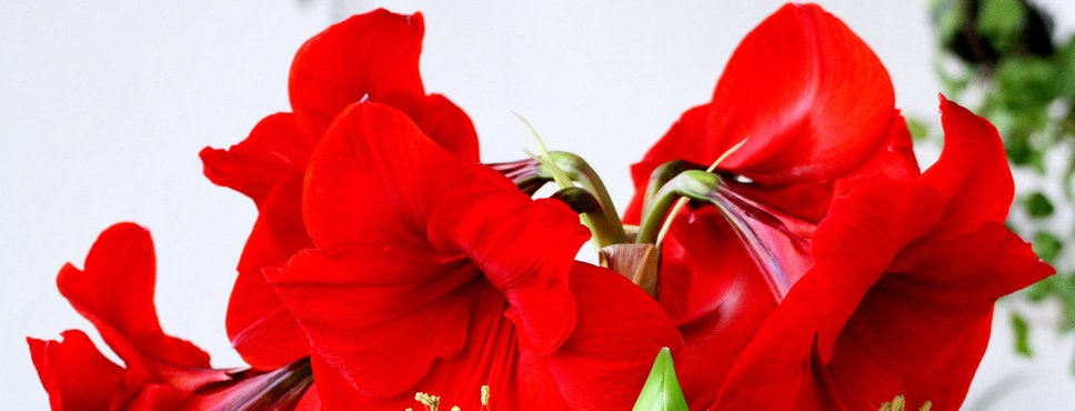 Weihnachtspflanzen - Amaryllis