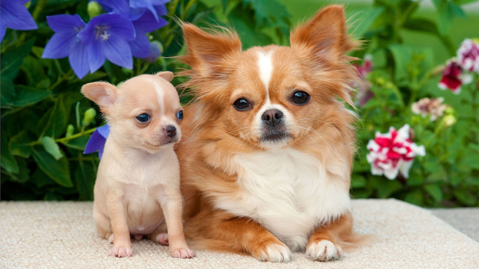 Zehn Dinge Die Kleine Hunde Nicht M 246 Gen Tiere Suchen