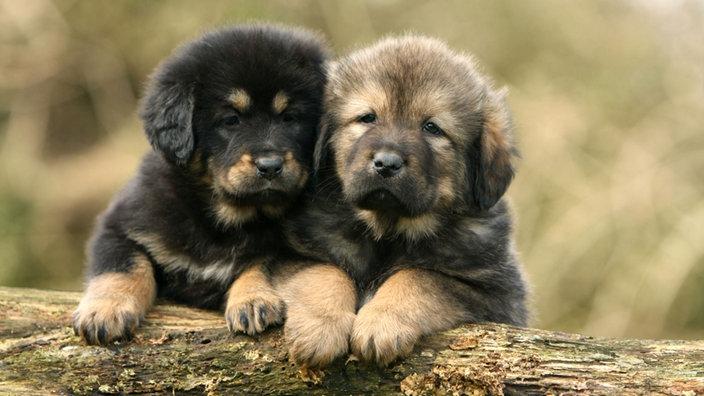 Pin Welpen Hundewelpen Hunde On Pinterest