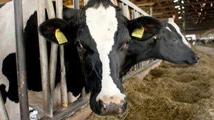 Die milch-bioreaktoren : 24 stunden bei den hochleistungskühen
