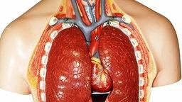 Anatomiemodell; Rechte: Interfoto/Imagebroker