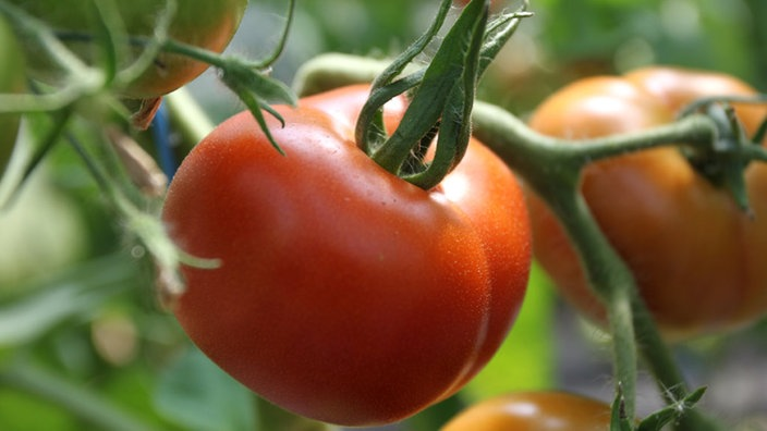 Guten Morgen Liebe Tomaten Lohnt Sich Das Sprechen Mit Pflanzen