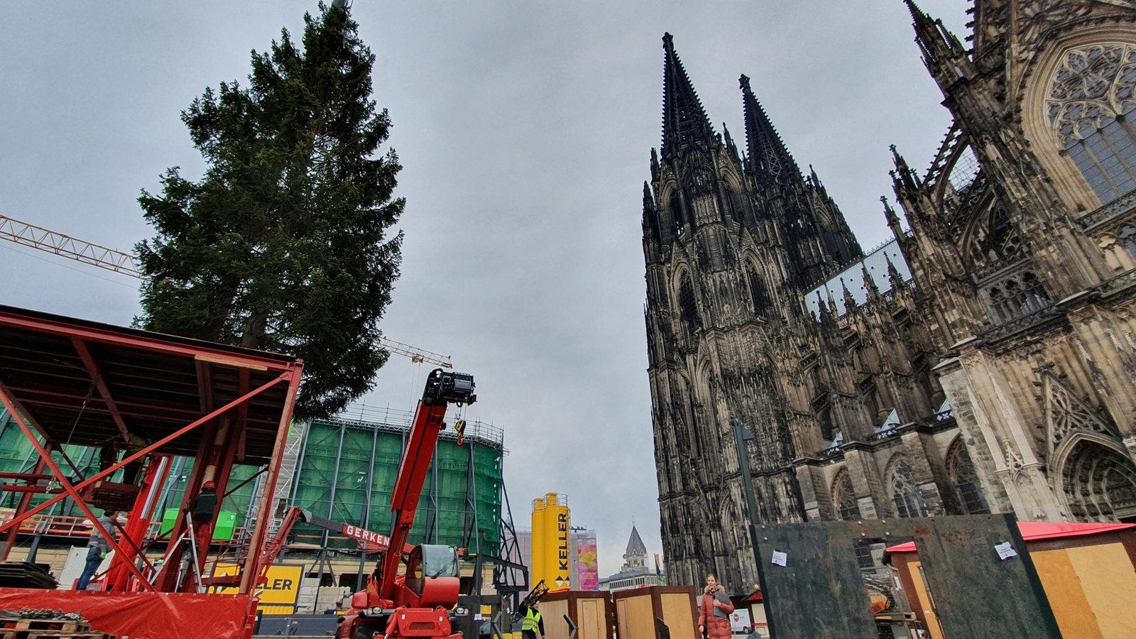 In Köln steht neben dem Dom der landesweit höchste gewachsene Weihnachtsbaum