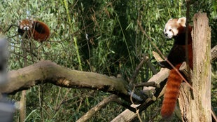 Der anderthalb Jahre alte Panda «Jang» (l), der zur Art der Kleinen Pandas gehört, und Panda-Dame «Pushpa» beäugen sich im Zoo in Duisburg