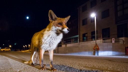 Ein Fuchs steht nachts in einer beleuchteten Stadt.