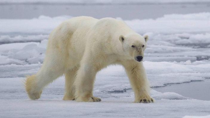 Eisbär läuft auf Packeis