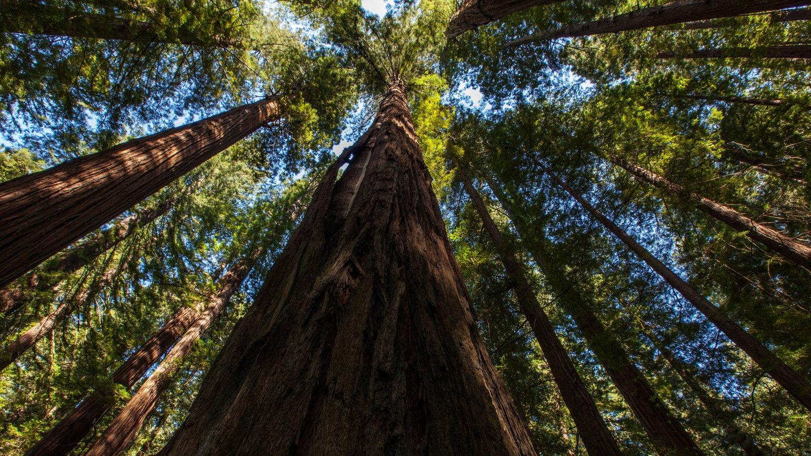 bäume kalifornischer urwald  pflanzen  natur  planet