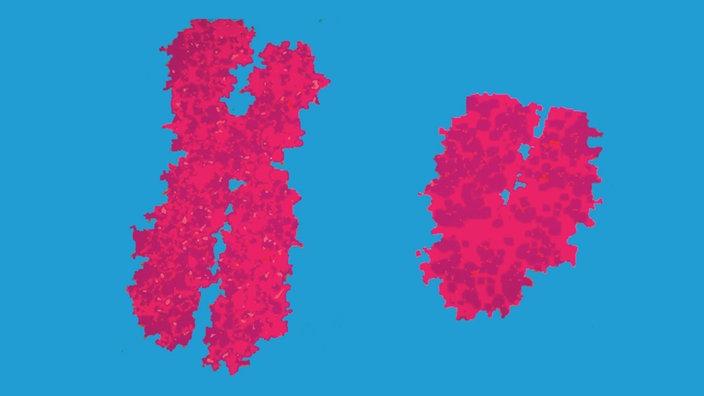 XY Chromosom
