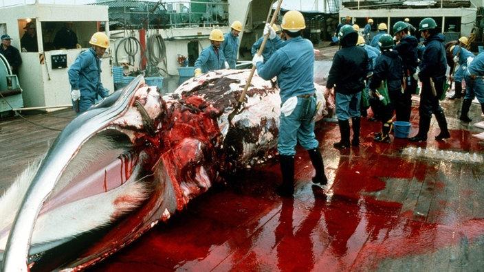 Warum Werden Wale Gejagt