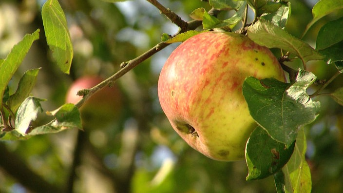 apfelbaum elstar appelboom