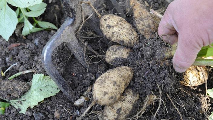 Dahlie: Anbau Und Pflege - Freizeit - Verbraucher - Wdr Dahlien Tipps Pflanzen Pflegen