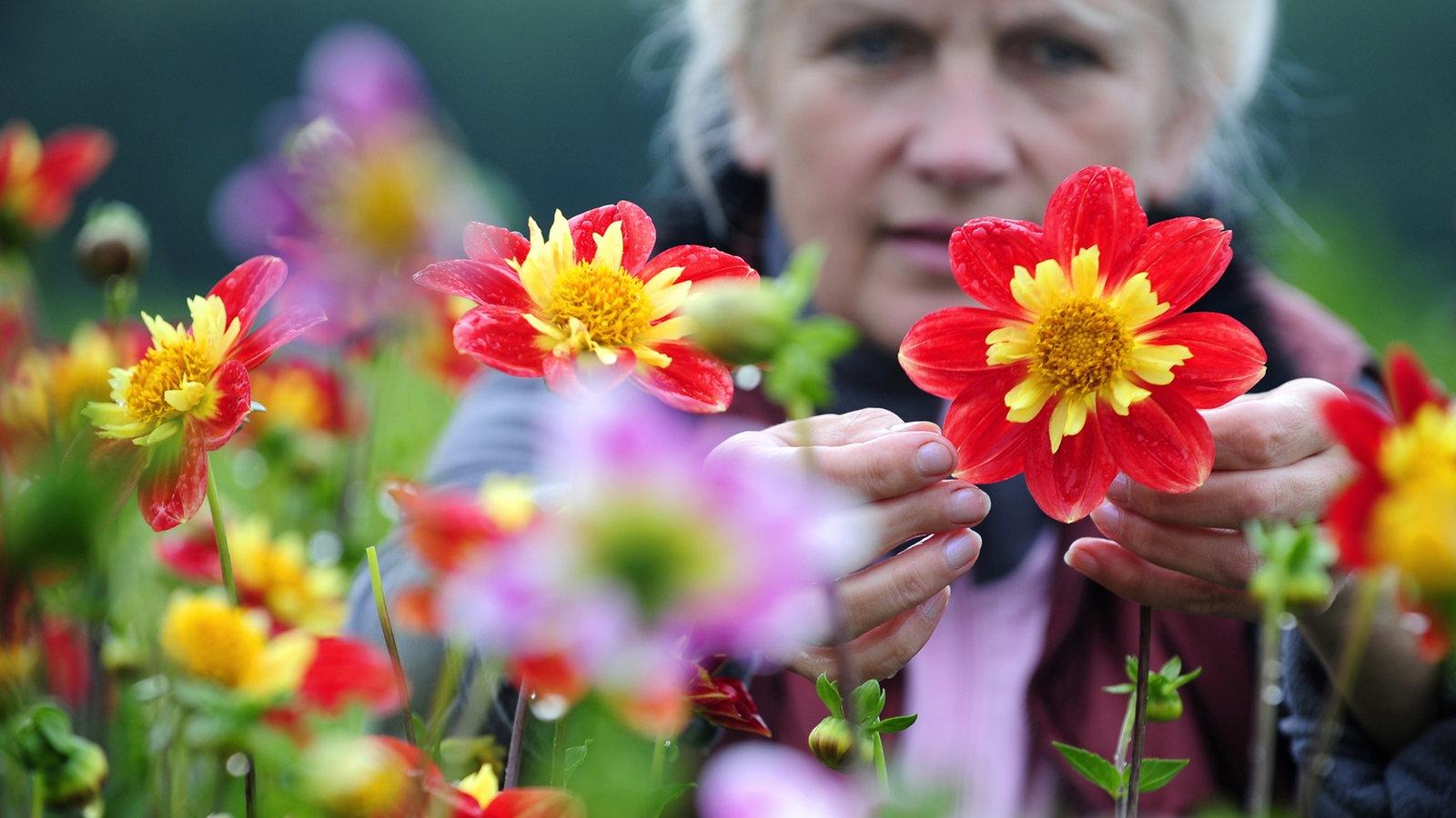Dahlie: Anbau Und Pflege - Freizeit - Verbraucher - Wdr Dahlien Pflanzen Anleitung Gaertner