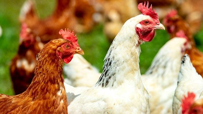 Hühnerhaltung In Der Stadt