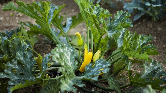Gemeinsame Zucchini: Anbau und Pflege - Freizeit - Verbraucher - WDR #FY_37