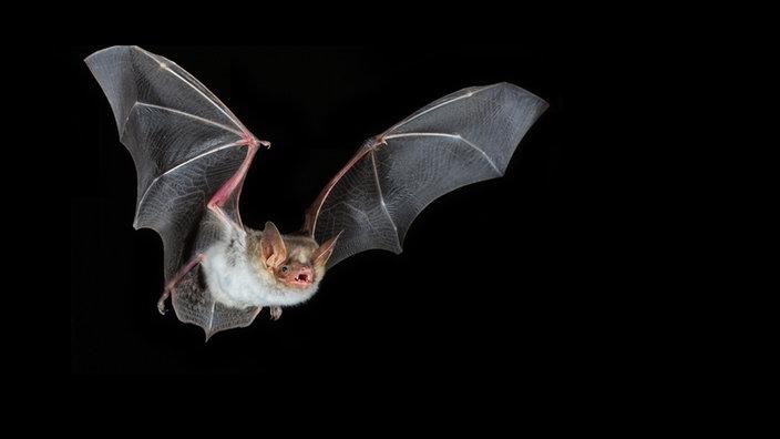 Fledermaus, Großes Mausohr im Flug