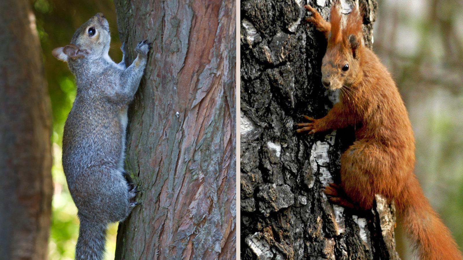 Eichhörnchen Grauhörnchen