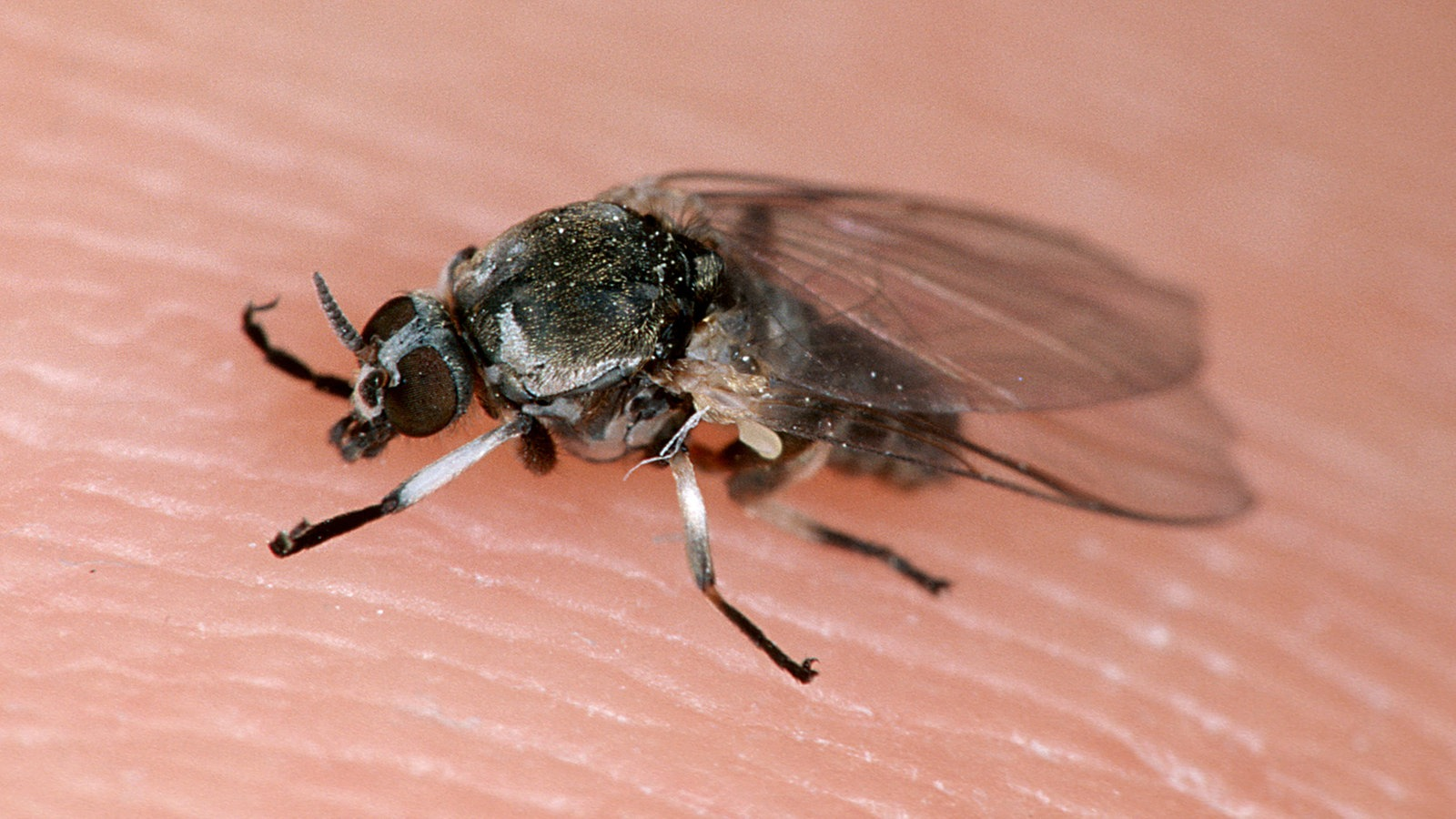 stechm cken blutsaugende insekten stechm cken. Black Bedroom Furniture Sets. Home Design Ideas